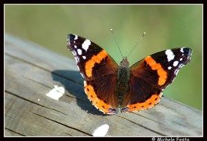 farfalla13
